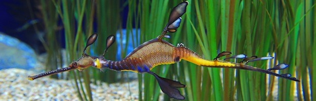 Seahorses in Aquariums