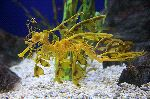 Beautiful Leafy Sea Dragon
