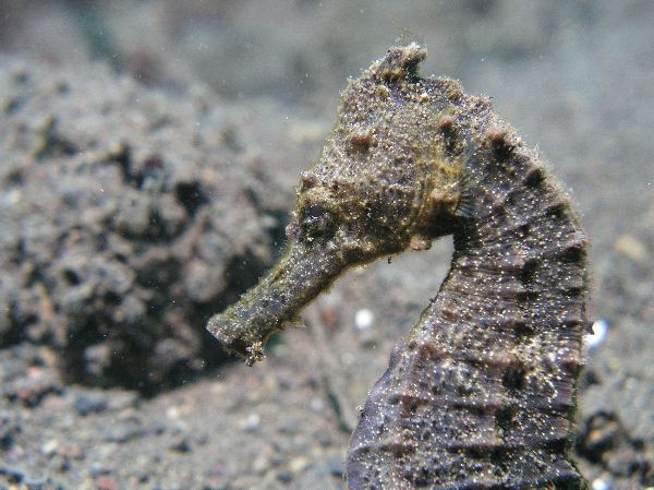 Camouflaged Seahorse