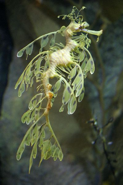 Extraordinary Leafy Sea Dragon - Phycodurus eques