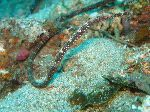 Long Pipefish