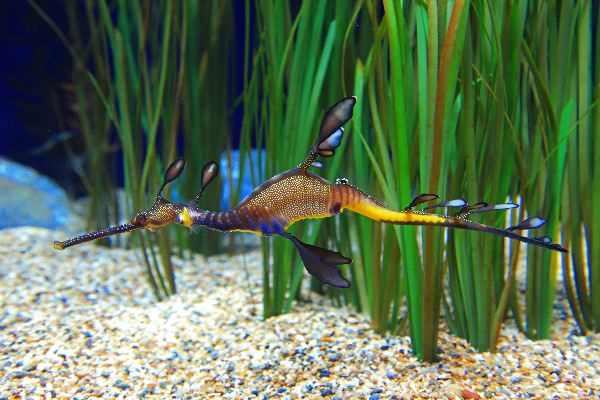 Weedy Sea Dragon - Phyllopteryx taeniolatus