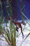 Weedy Sea Dragon in Aquarium