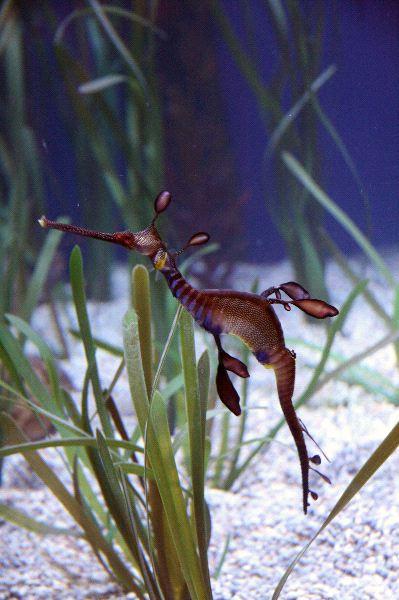 Weedy Sea Dragon in Aquarium