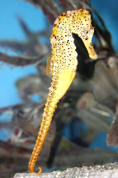 Yellow Seahorse Standing On Tail