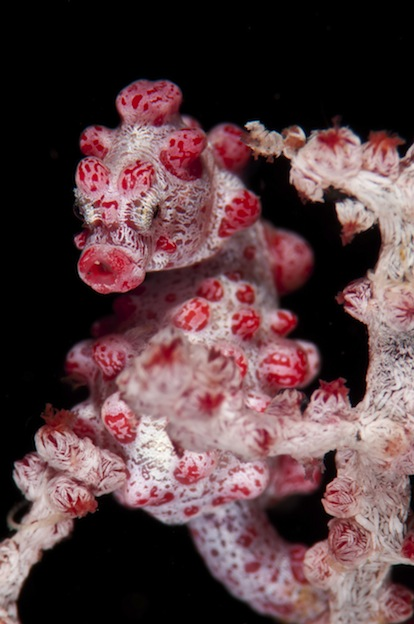 Information about Seahorse Anatomy