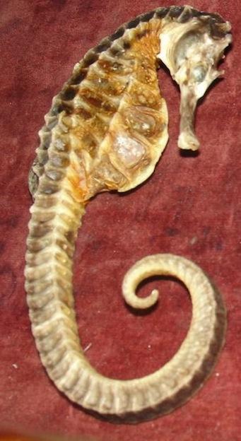 Pot bellied seahorse Characteristics