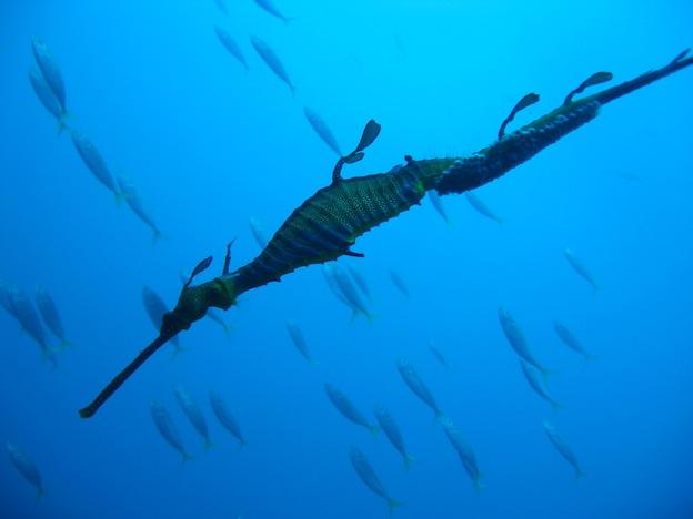 Habitat and Distribution of seahorses