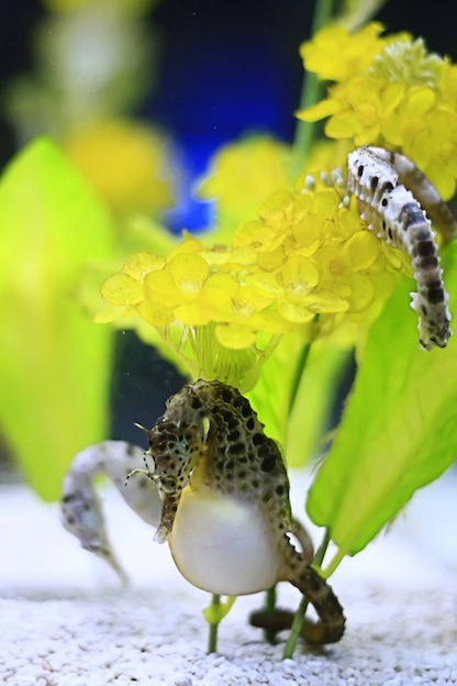 Seahorse courtship and mating