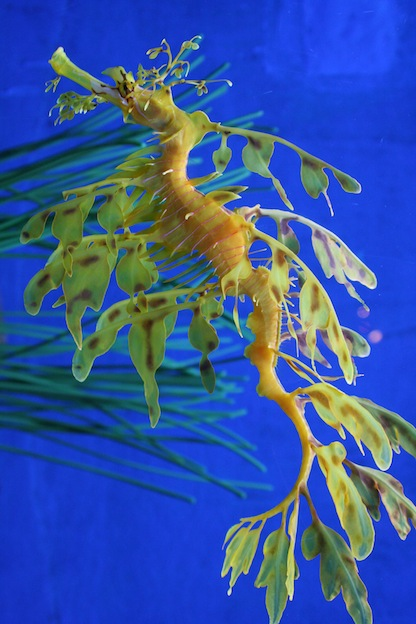 seahorse species seahorse facts and information