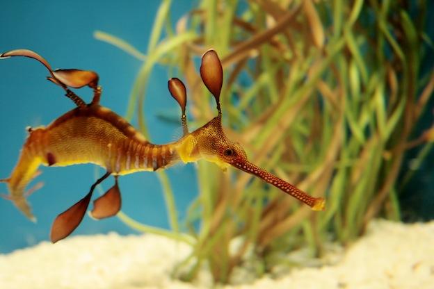 Weedy seadragon characteristics