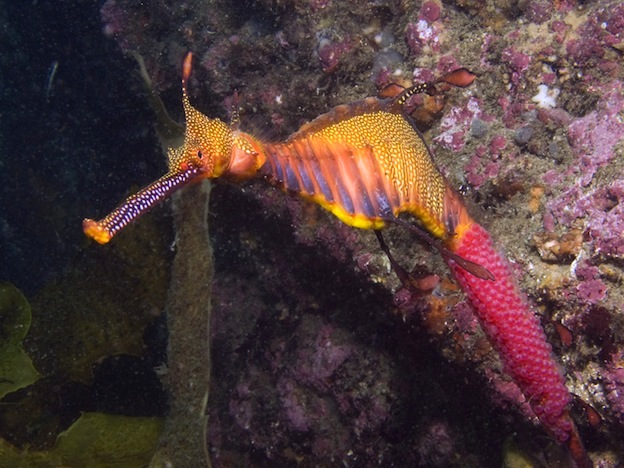 Weedy seadragon or Common seadragon